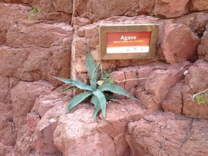 The agave plant, from which both tequila and mescal are made