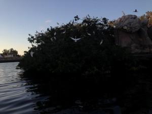 An island of Cormorants