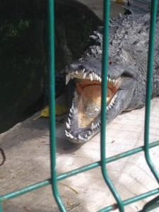 This croc is sleeping with his mouth open to keep him cool.  The biggest crocs we saw were at the croc preserve inside cages.