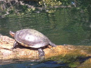 We saw lots and lots of wild turtles all up and down the river