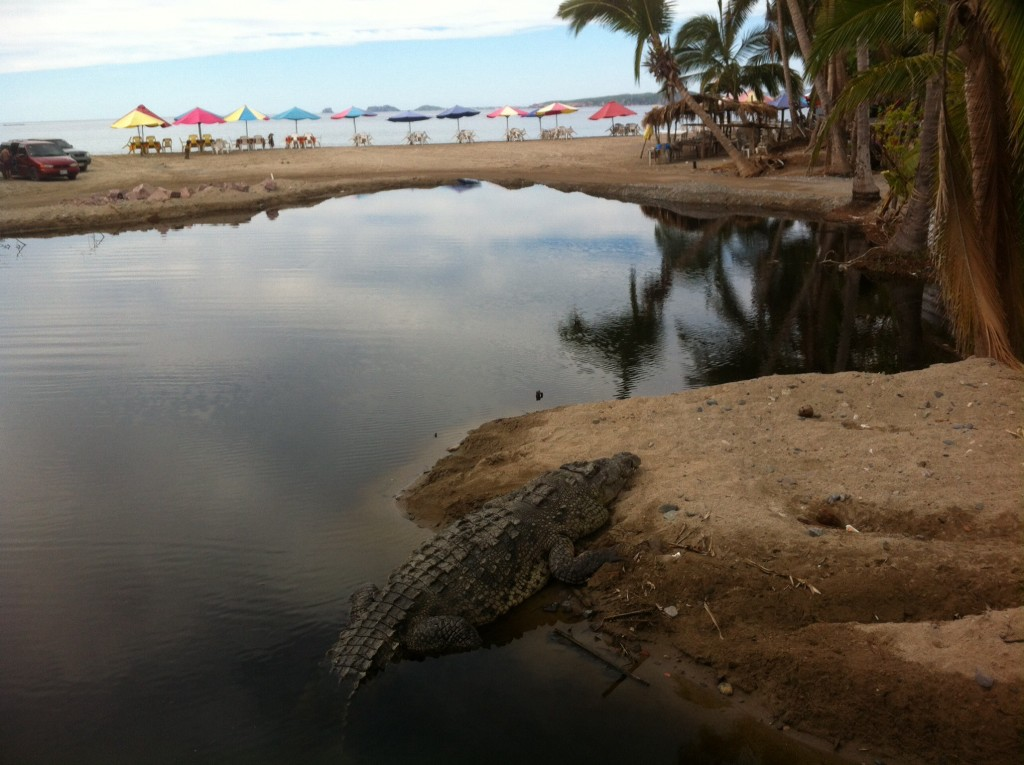 A crocodile from the refuge being tempted by the nearby tasty tourist beach!